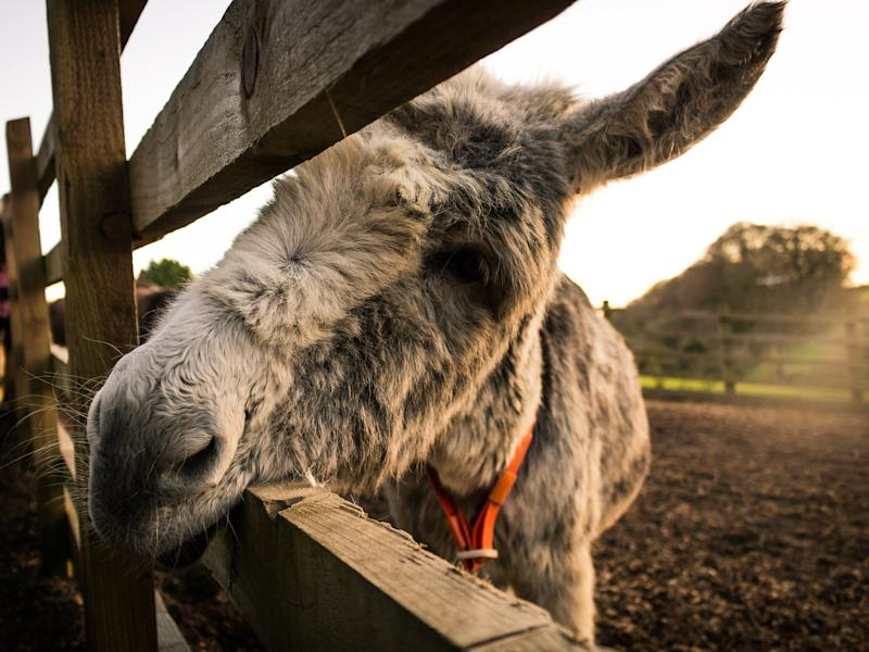 A donkey at The Donkey Sanctuary in Sidmouth, Devon: Getty