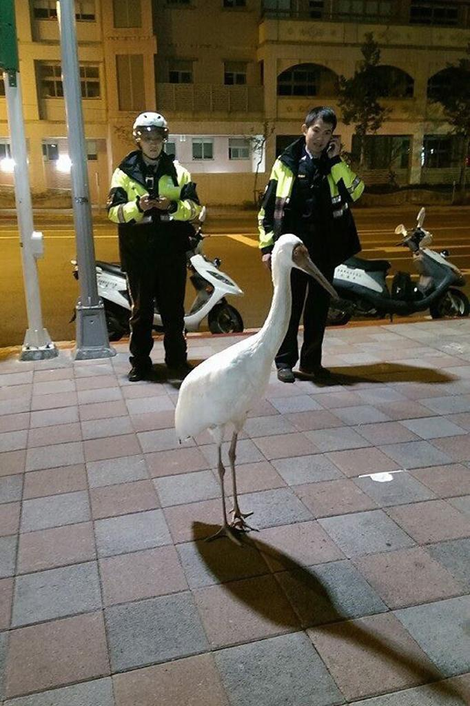 Policemen stand guard near a Siberian crane in the Sungshan district in Taipei in a picture taken early on December 18, 2015 and released by the Taiwan Ecological Engineering Development Foundation (AFP Photo/)