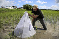 In this photo taken Wednesday, Oct. 30, 2019, Dr. Bart Knols, medical entomologist from the Dutch Malaria Foundation and lead researcher of the program, examines a net used to show that the stagnant water is an active breeding ground for mosquitoes, at Cheju paddy farms in the southern Cheju region of the island of Zanzibar, Tanzania. Drones spraying a silicone-based liquid that spreads across the large expanses of stagnant water where malaria-carrying mosquitoes lay their eggs, are being tested to help fight the disease on the island of Zanzibar, off the coast of Tanzania. (AP Photo/Haroub Hussein)