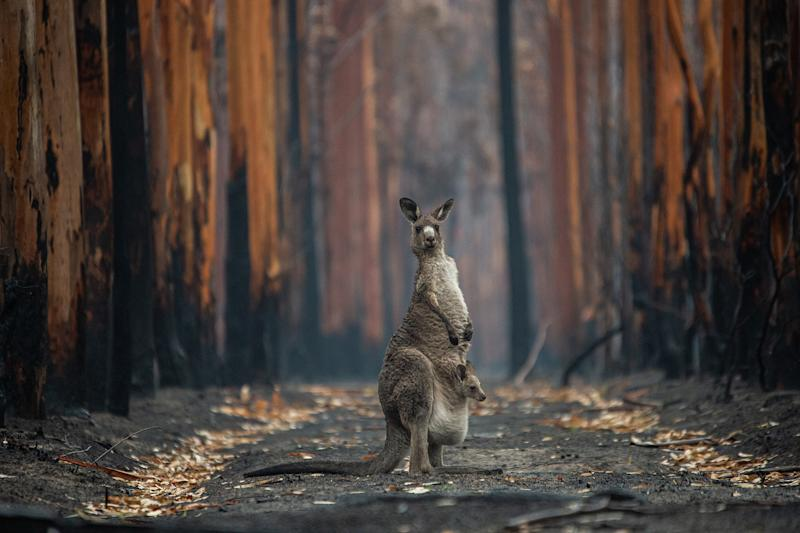 An Eastern grey kangaroo and her joey who survived the forest fires in Mallacoota, Australia. Photo Credit: Jo-Anne McArthur/We Animals Media