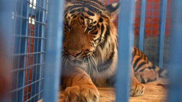 PHOTO: A tiger is loaded into a Turkish truck from a Syrian vehicle during transportation to Turkey after being rescued from Syria's Aleppo zoo.  (Ahu Savan An/Four Paws)