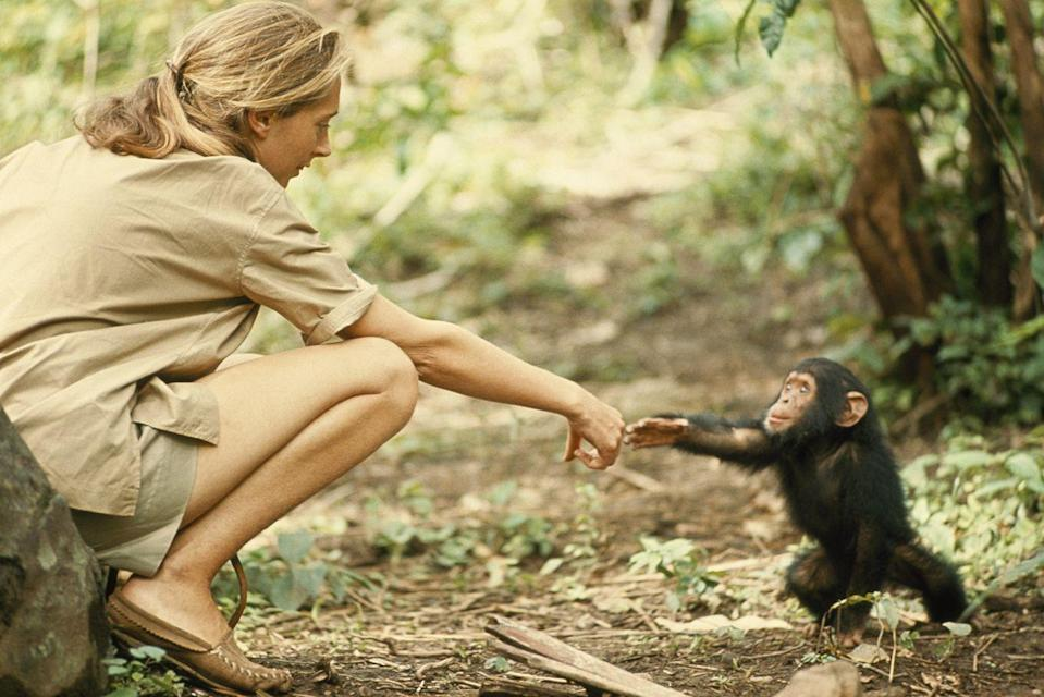 <p>1965. Primatologist Jane Goodall meets baby chimp, Flint in Tanzania's Gombe Stream Game Reserve.</p>