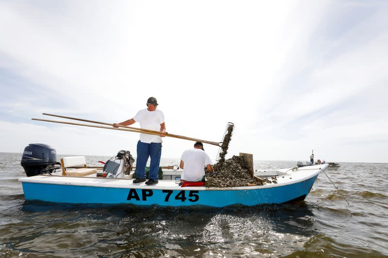 Michael Dasher, Sr., uses tongs to lift oysters from the bottom of Apalachicola Bay onto the boat of his son Michael Dasher, Jr., as they work off Eastpoint, Florida
