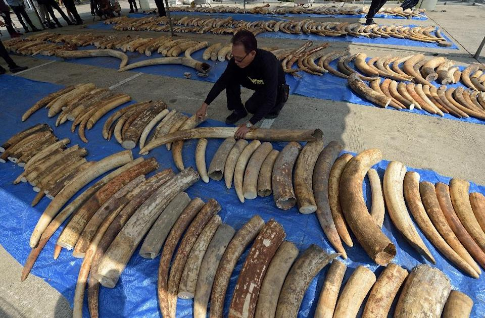 A Thai customs officer inspects confiscated elephant tusks during a press conference at the Customs Bureau in Bangkok on April 27, 2015 (AFP Photo/Pornchai Kittiwongsakul)