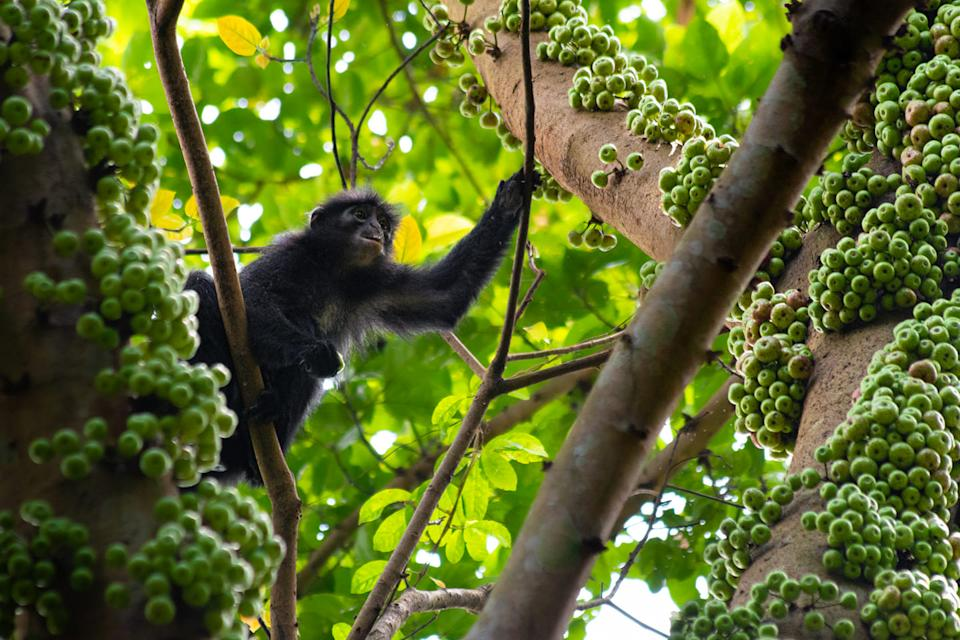 Raffles' banded langur in a fruiting fig tree in the Central Catchment Nature Reserve of Singapore. (Photo courtesy of Law Jia Bao)