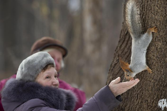 "In this photo taken on Monday, Feb. 3, 2014, a squirrel gets food form women in Moscow's ""Neskuchny Sad"" park in Moscow, Russia. One by one, the bushy-tailed residents of Moscow's parks have been disappearing. The problem: Russians have gone nuts for squirrels. City official Alexei Gorelov told the Associated Press on Wednesday that he has received multiple reports of squirrel poaching in local parks. In response, municipal authorities on Jan. 31 ordered bolstered security for all of Moscow's green areas. (AP Photo/Alexander Zemlianichenko)"