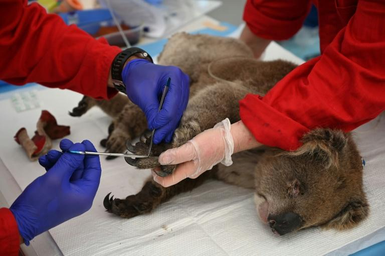 An injured koala is treated for burns by a vet at the Kangaroo Island Wildlife Park (AFP Photo/PETER PARKS)