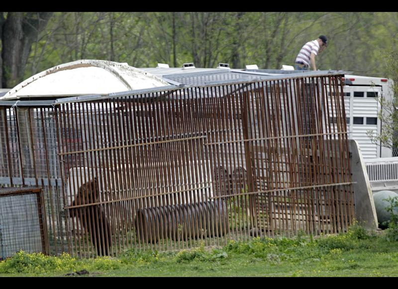 A bear, lower left, explores its cage on the farm of Marian Thompson near Zanesville, Ohio, after it was released to Thompson by the Columbus Zoo Friday, May 4, 2012. Terry Thompson, Marian's late husband, released 56 animals