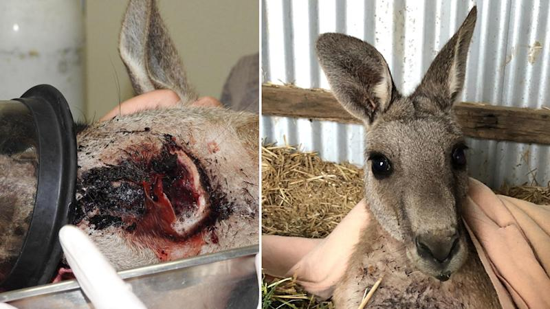 Frank the kangaroo suffered a wound to his neck (left) and is now in recovery (right).