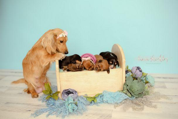 PHOTO: Laura Shockley of Laura Shockley Photography, who also happens to be Sugar's owner, snapped sweet pics of the dog and her newborn puppies. (Laura Shockley Photography)
