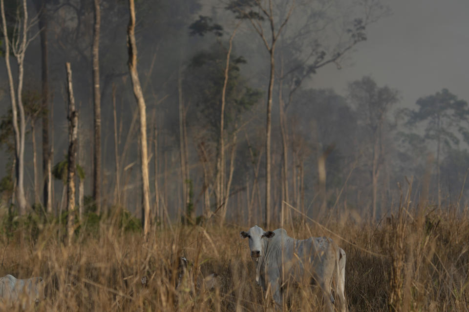Cattle stand in the field as a fire burns an area in the Alvorada da Amazonia region in Novo Progresso, Para state, Brazil, Sunday, Aug. 25, 2019. Leaders of the Group of Seven nations said Sunday they are preparing to help Brazil battle fires burning across the Amazon region and repair the damage as tens of thousands of soldiers got ready to join the fight against blazes that have caused global alarm. (AP Photo/Leo Correa)