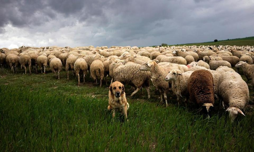 A Spanish mastiff watches over a flock of sheep