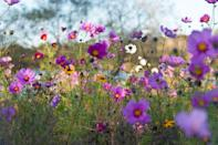 <p>Also known as Mexican aster, these annuals are excellent choices for all USDA Hardiness Zones and bloom in the summer through fall.</p>