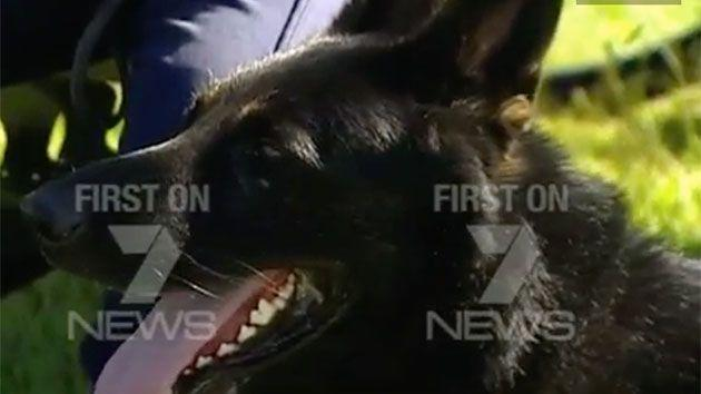 Chuck, a four-year-old german shepherd, is Const. Waburton's police dog and was renowned a hero after biting fugitive, Malcolm Naden to justice. Photo: 7 News