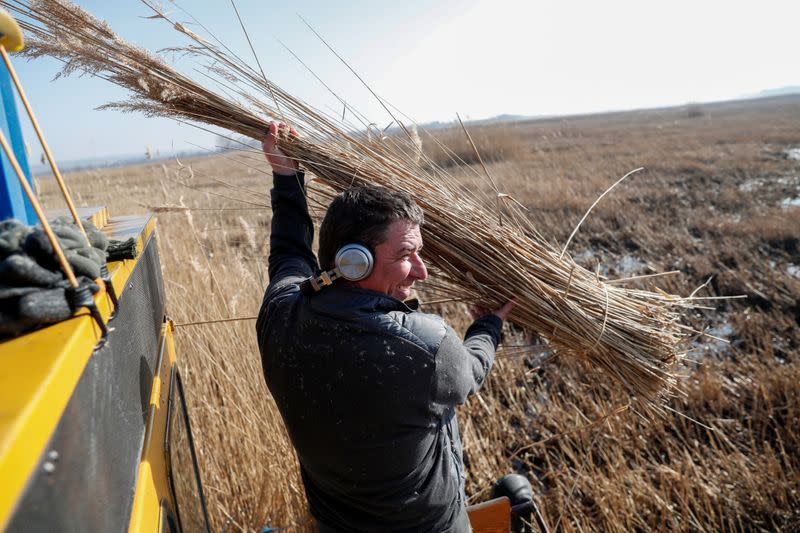 A worker collects reed after cutting it near Lake Balaton near Keszthely