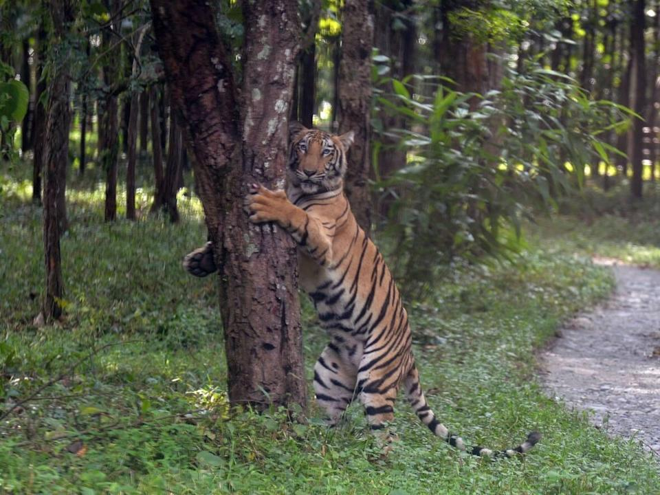 A young Bengal tiger holds onto a tree after being released in an enclosure at the Bengal Safari wildlife park on the outskirts of Siliguri, India, on Oct. 1, 2019. In the country's central Chandrapur region, tiger attacks are on the rise due to a sharp increase in the animal's population. (Diptendu Dutta/AFP via Getty Images - image credit)