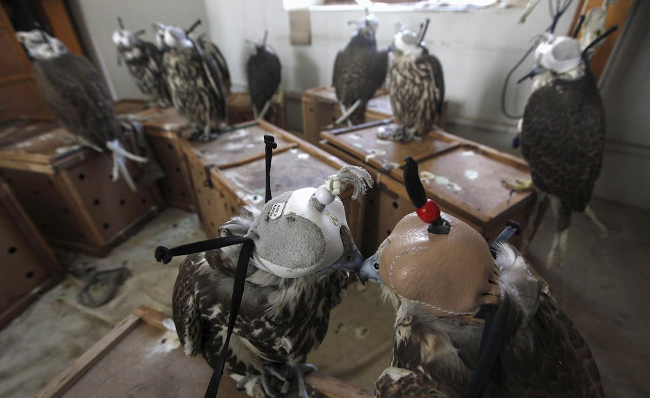 <p>Falcons are seen at the offices of Sindh Wildlife Police after they were seized in Karachi, Pakistan October 13, 2015. Twenty-two falcons worth one million rupees ($9,600) each were seized by the Rangers paramilitary force after they were discovered during a snap inspection along a toll booth, as they were being smuggled from Peshawar to Karachi. The birds were later handed over to Sindh Wildlife Department, reported local media. (Photo: Akhtar Soomro/Reuters) </p>