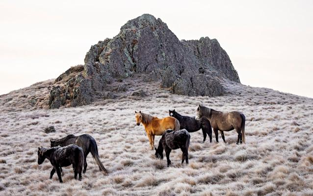 Wild Brumbies in the Snowy Mountains of Kosciuszko National Park, New South Wales - Carol Hancock/Telegraph