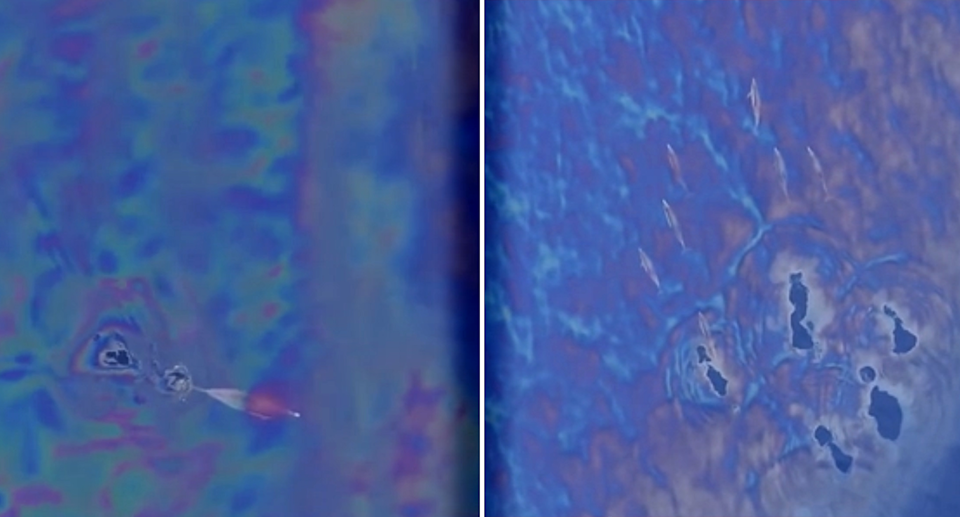Two stills from a drone video of dolphins appearing to swim through an oil slick off San Diego.