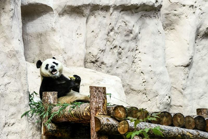 Un panda nello zoo di Mosca (KIRILL KUDRYAVTSEV/AFP/Getty Images)