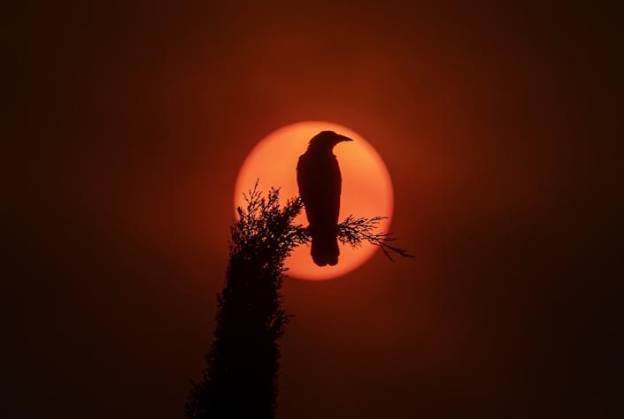 A crow sitting on a cypress tree in Garden Grove is silhouetted by the sun partially obscured by ash from Southland wildfires