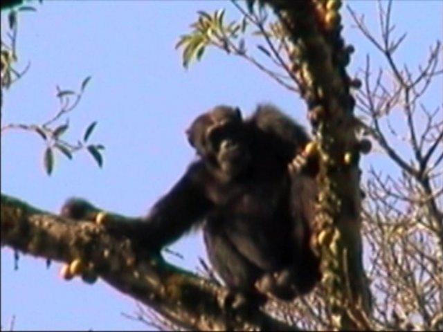 Chimpanzes in Uganda evaluate edibility of figs