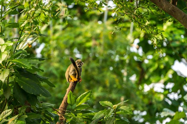 Squirrel Monkey sitting on a tree trunk in the rainforest