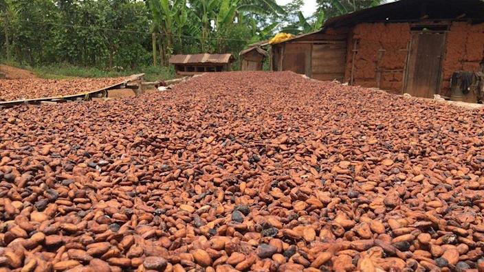 Cocoa drying in the sun