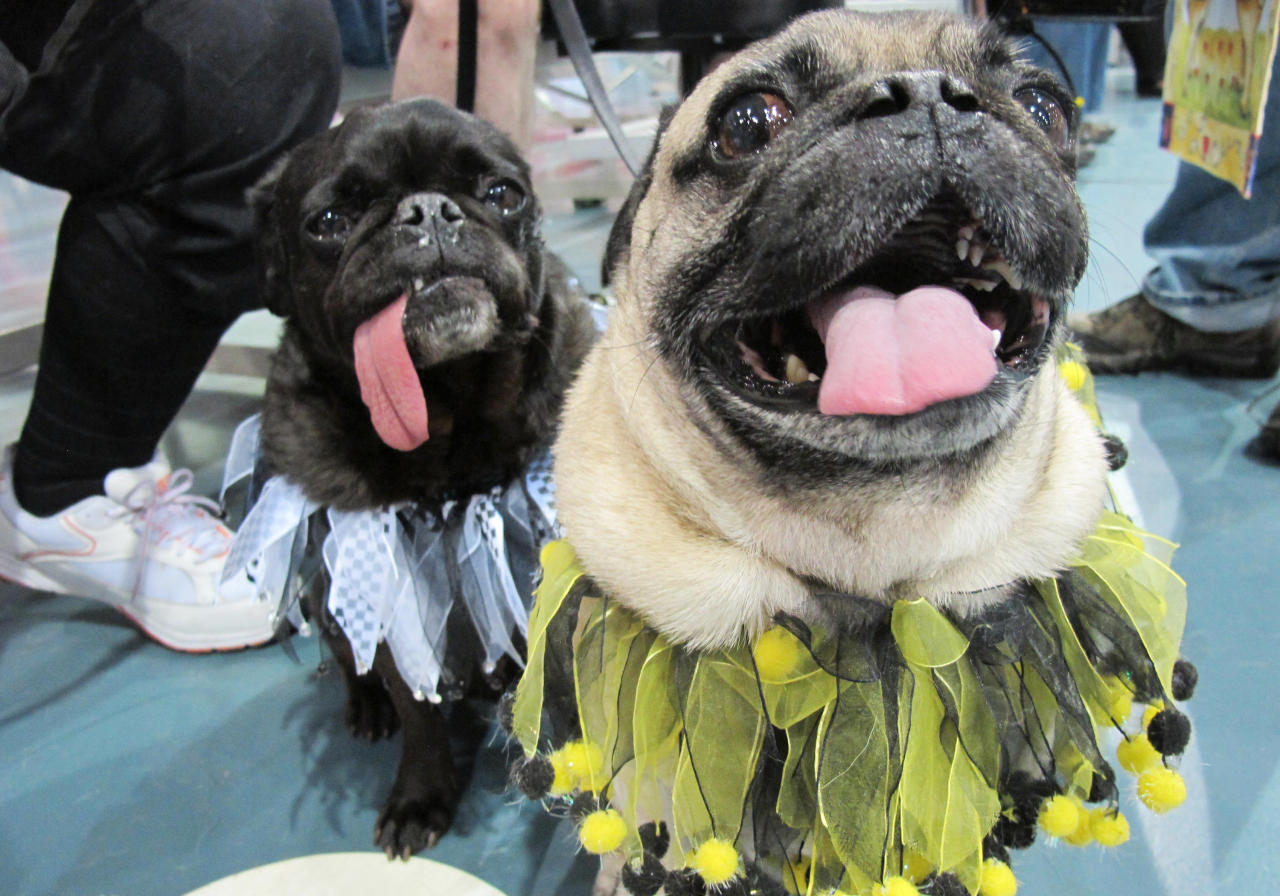 In this May 19, 2013, photo Chipper, right, and Chickory pose for a photo at the Milwaukee Pug Fest in Franklin, Wis. The annual event, that helps pay for medical and dental bills for rescued pugs, attracted more than 1,700 pugs and other smushy-faced dogs along with 2,900 humans from the U.S. and Canada. (AP Photo/Carrie Antlfinger)