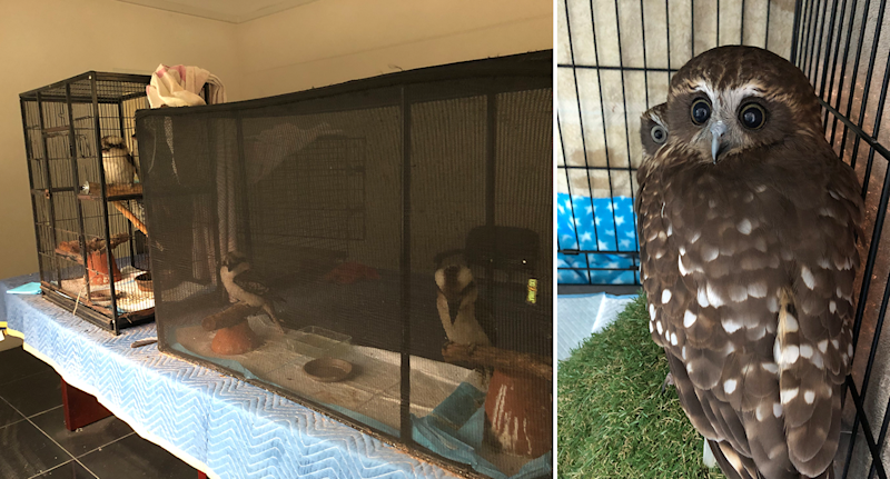 Kookaburras in cages on a table on the left and owls in a cage on the right.