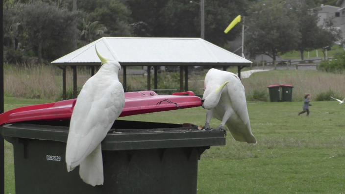 In this 2019 photo provided by researcher Barbara Klump, a sulphur-crested cockatoo watches as another opens a trash can in Sydney, Australia. At the beginning of 2018, researchers received reports from a survey of residents that birds in three Sydney suburbs had mastered the novel foraging technique. By the end of 2019, birds were lifting bins in 44 suburbs. (Barbara Klump/Max Planck Institute of Animal Behavior)