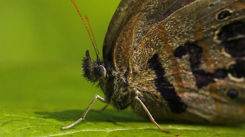 The tiny St. Francis Satyr butterfly flits among the splotchy leaves, ready to lay its eggs. Image credit: AP