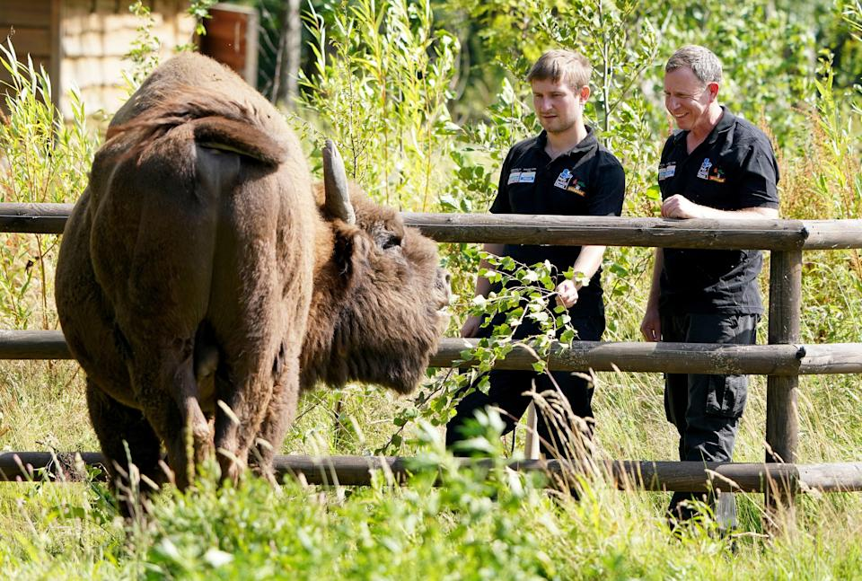 Tom Gibbs (left) and Donovan Wright, the UK's first-ever bison rangers, get to know a bison (Gareth Fuller/PA) (PA Wire)