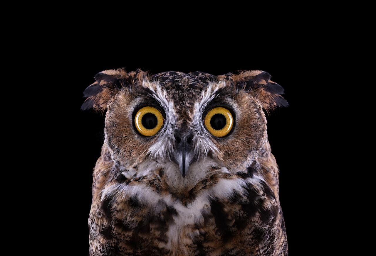 A real hoot: Photographer Brad really brings out the great horned owl's amber eyes in this shot (Brad Wilson/Doinel Gallery)