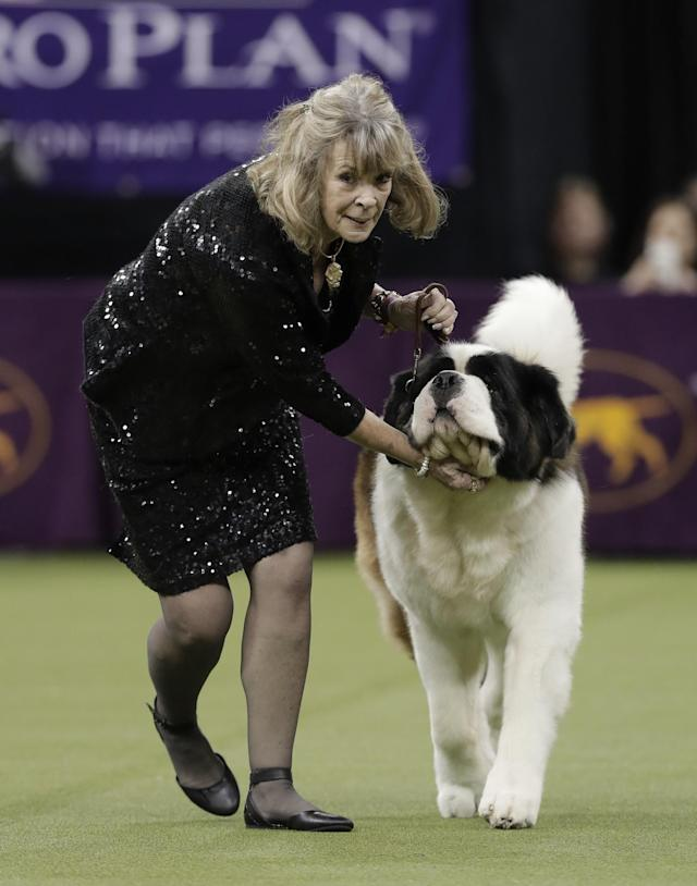 <p>A handler guides a Saint Bernard around the ring during the working group competition at the 141st Westminster Kennel Club Dog Show, Tuesday, Feb. 14, 2017, in New York. (AP Photo/Julie Jacobson) </p>