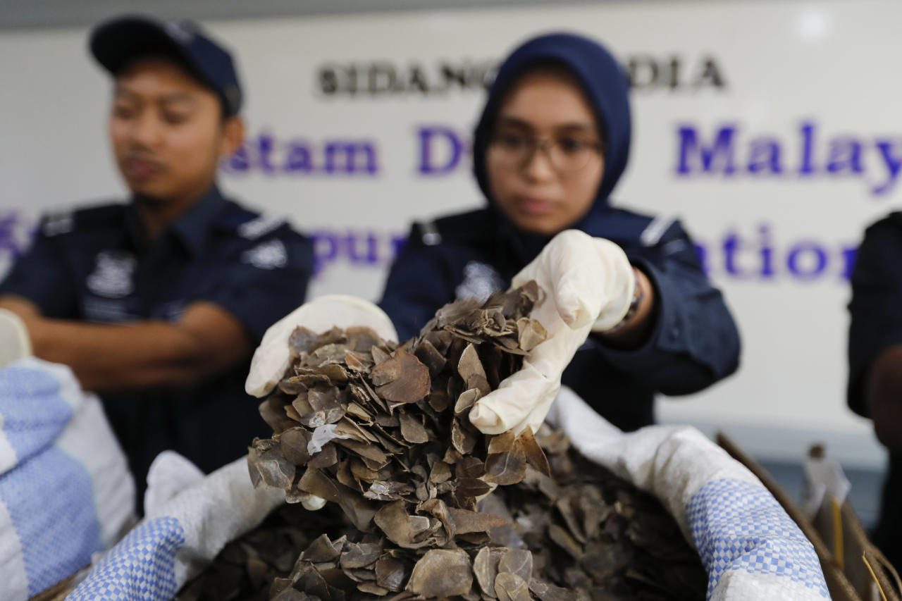 Royal Malaysian Customs (RMC) Department officials show pangolin scales recently seized at the Kuala Lumpur International Airport (KLIA), during a press conference in Sepang, Malaysia on Friday, June 16, 2017. Malaysian Customs seized a total of 393.50 kg of pangolin scales from Ghana in 16 boxes worth 5 million Malaysian ringgit. (1.17 million US dollar) (AP Photo/Vincent Thian)