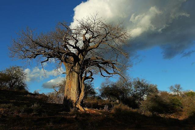 A giant Baobab tree at the Pafuri game reserve in Kruger National Park, South Africa.