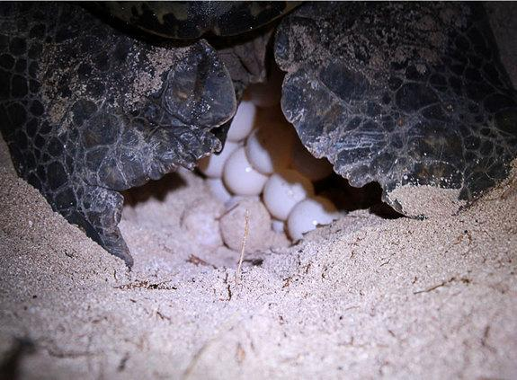 Goo Lets Turtle Moms Pause Eggs' Growth