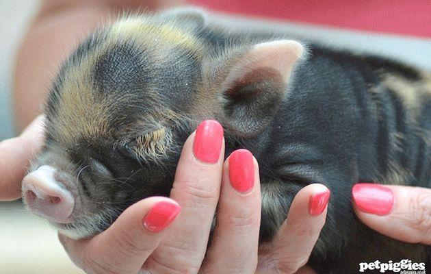 Get some hands-on hog time. Photo: Petpiggies