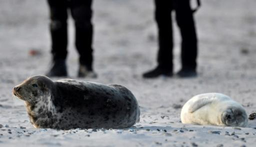 Tourists come daily to see the white-furred seal pups hop around the beach during the whelping season