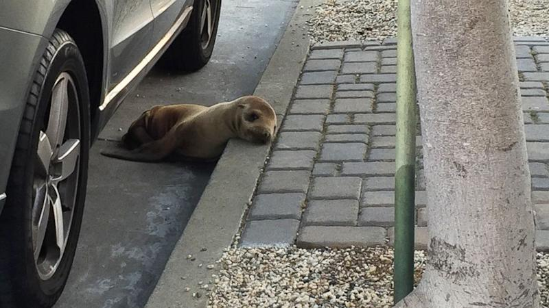 Sea Lion Pup Wanders the Streets of San Francisco