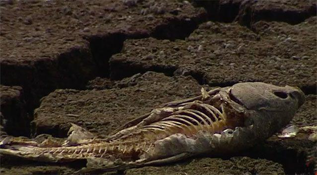The dead and dying marine life is causing a foul smell in Bushells Lagoon. Source: 7 News