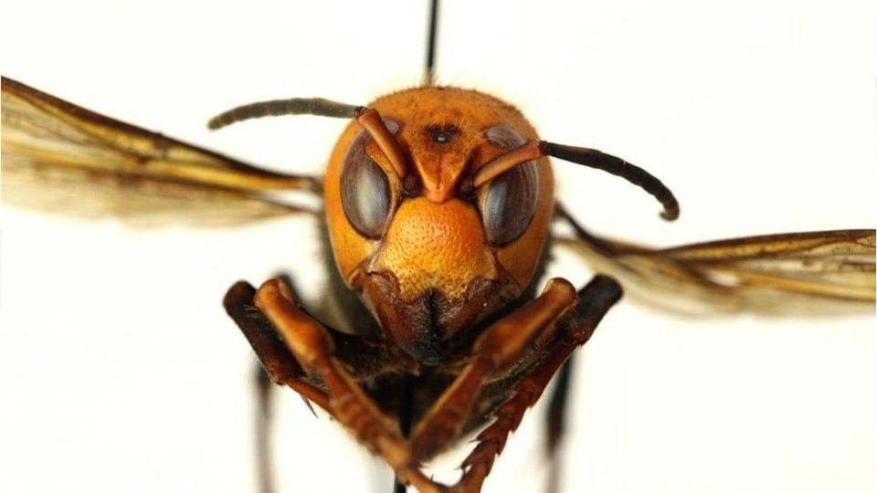"Look into the eyes of this ""murder hornet."" The invasive species slaughters honeybees, can be deadly to humans and unfortunately has been spotted in the USA."