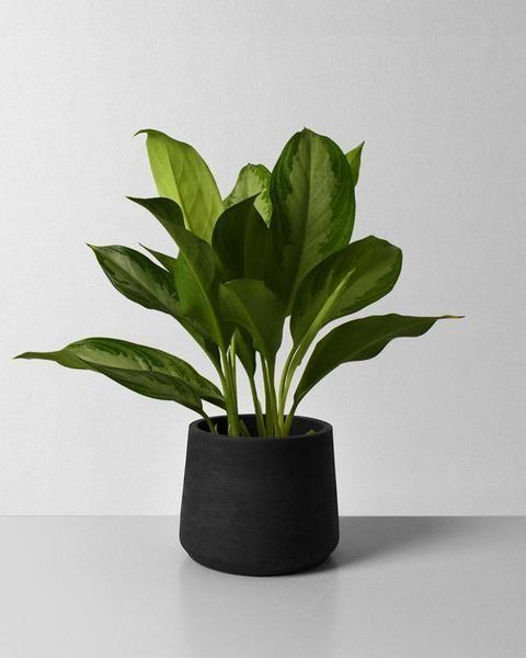 """<p>moderngarden.co</p><p><a href=""""https://moderngarden.co/products/aglaonema-silver-bay?variant=33832678359171"""" rel=""""nofollow noopener"""" target=""""_blank"""" data-ylk=""""slk:Shop Now"""" class=""""link rapid-noclick-resp"""">Shop Now</a></p><p>The easy-to-grow Aglaonema is a small investment, but it pays off in big ways. In fact, this species is known to purify the air. And because this tropical option thrives in low light and high humidity levels, it's a great choice for your steamy bathroom.</p>"""