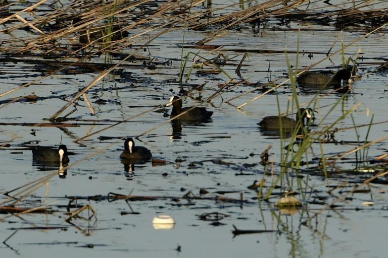 Eurasian coots (Fulica atra) swim in the polluted Sijoumi mudflat