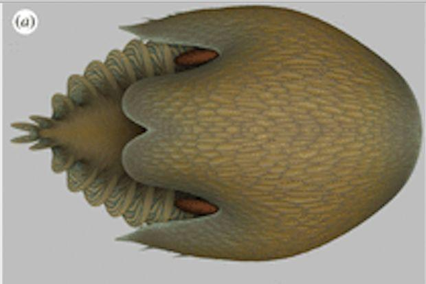 Scientists have discovered a gigantic prehistoric relative of the horseshoe crab in the 500-million-year-old Burgess Shale in Canada. (Photo: Royal Ontario Museum)