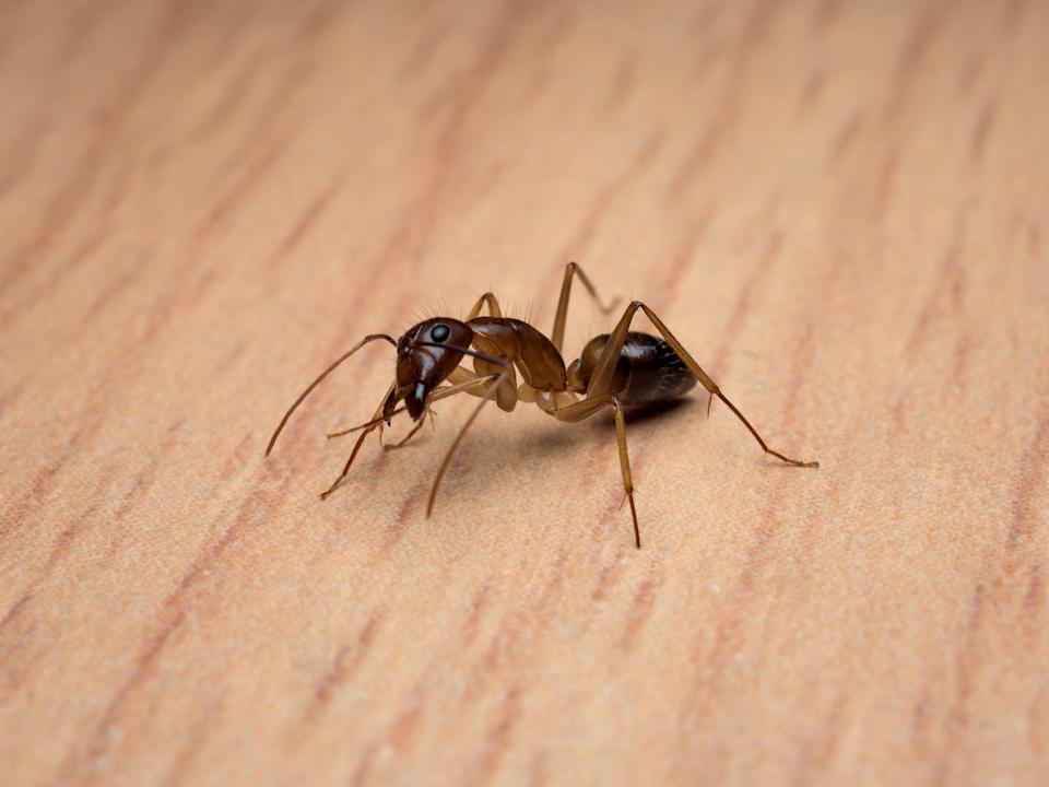 """<p><strong>What it looks like</strong>: <a href=""""https://www.prevention.com/life/a33914673/how-to-get-rid-of-carpenter-ants/"""" rel=""""nofollow noopener"""" target=""""_blank"""" data-ylk=""""slk:Carpenter ants"""" class=""""link rapid-noclick-resp"""">Carpenter ants</a> are one of the <a href=""""http://ipm.ucanr.edu/PMG/PESTNOTES/pn7416.html"""" rel=""""nofollow noopener"""" target=""""_blank"""" data-ylk=""""slk:largest ant species in North America"""" class=""""link rapid-noclick-resp"""">largest ant species in North America</a>. Wingless types grow between ¼ to ½ inch, while those with wings can grow up to 1 inch. They are shiny, usually black or dark brown, and known for their narrow waists. They also have mandibles (jaw-like appendages) used for chomping.</p><p><strong>Where you'll find it</strong>: They often damage homes and other wooden structures, so they can be found in moist or decayed wood caused by exposure to water leaks, condensation, or poor air circulation.</p><p><strong>Can it harm you?</strong> Unfortunately, yes. <a href=""""http://ccenassau.org/resources/carpenter-ants-black"""" rel=""""nofollow noopener"""" target=""""_blank"""" data-ylk=""""slk:Carpenter ants can bite"""" class=""""link rapid-noclick-resp"""">Carpenter ants can bite</a>, and they've been known to break skin when they do, which can be painful. While they don't use venom, they do inject an irritant called formic acid into the area, which may cause an allergic reaction. The bites usually don't require medical attention but should be cleaned well to avoid any issues.</p>"""