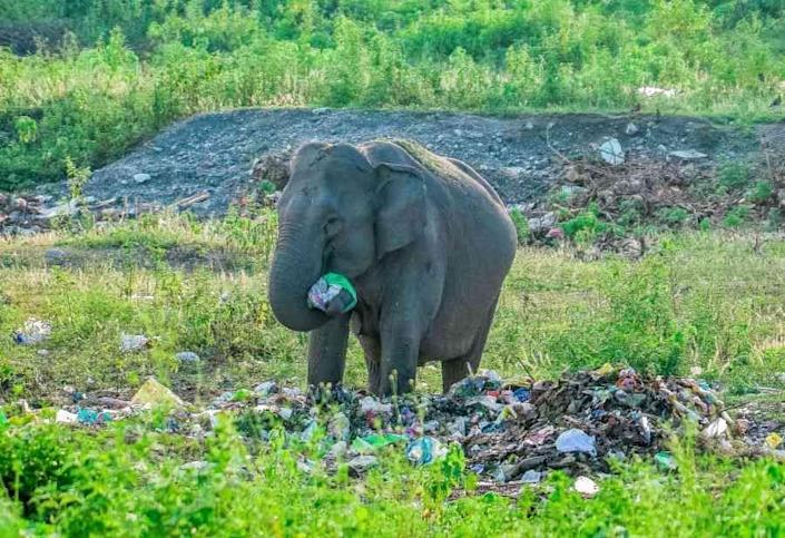 Poison Parcel: We adore our elephant god, but through sheer neglect poison our elephants. In Siliguri, West Bengal, a wild elephant scavenges for food at an unauthorised rubbish heap. She prepares to stuff a plastic bag filled with vegetable peels into her mouth. Once ingested, the plastic can wreak havoc on its body and potentially lead to death. According to Elephant Family, a UK-based NGO, nine of the 13 countries that are home to Asian elephants are amongst the world's worst managers of plastic waste.