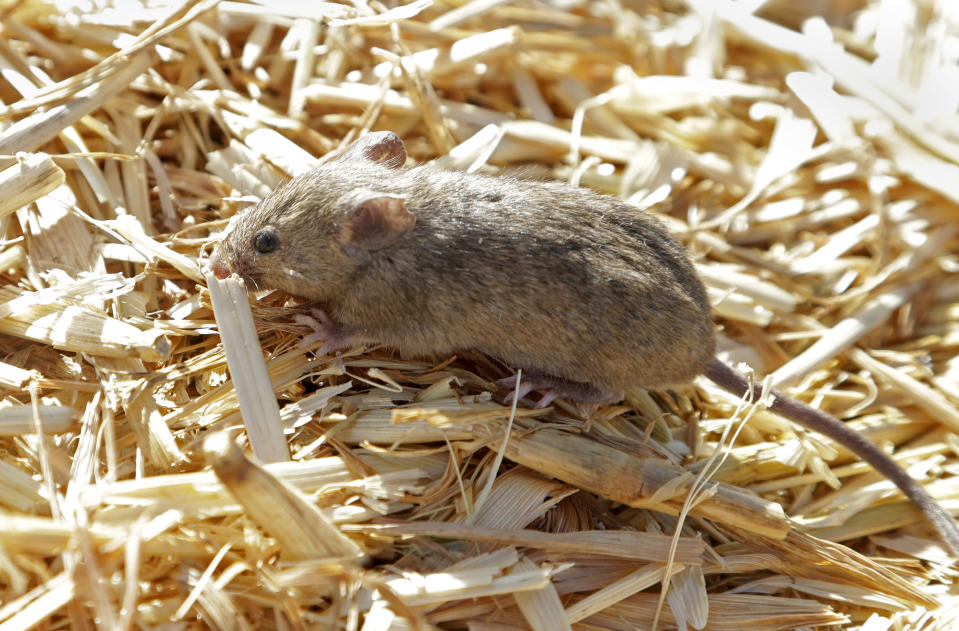 """A mouse sits on top of hay stored by Bruce Barnes on his family's farm near Bogan Gate, Australia on May 20, 2021. Vast tracts of land in Australia's New South Wales state are being threatened by a mouse plague that the state government describes as """"absolutely unprecedented."""" Just how many millions of rodents have infested the agricultural plains across the state is guesswork. (AP Photo/Rick Rycroft)"""