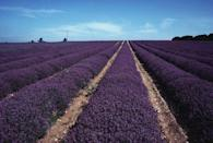 """<p><strong>Looks like: </strong>Provence, France</p><p>If your plans to Provence have been scuppered this year, then take the somewhat shorter trip to Norfolk instead to take in its beautiful lavender meadows. Founded in 1932, the famed farm occupies 100 acres of scented lavender fields, as well as an oil distillery, gift shop and on-site restaurant.</p><p><strong>Stay at: </strong><a href=""""https://www.magazinewood.co.uk/"""" rel=""""nofollow noopener"""" target=""""_blank"""" data-ylk=""""slk:Magazine Wood"""" class=""""link rapid-noclick-resp"""">Magazine Wood</a>, a cross between a country house and a boutique hotel, which is only a 10-minute drive from Norfolk Lavender and walking distance from local beaches.</p>"""